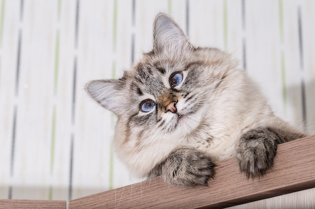 Fluffy cat lies on a wooden table