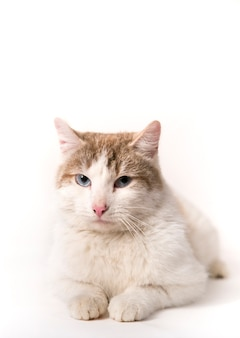 白い背景の上のふわふわ猫
