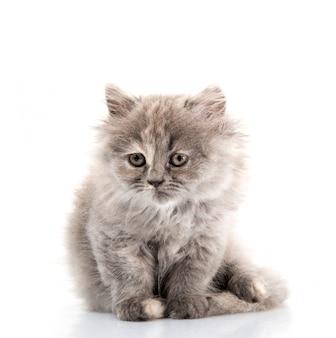 Fluffy cat on white