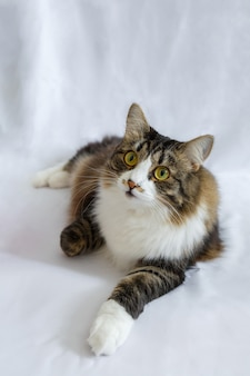 目が大きいふわふわ猫、嘘