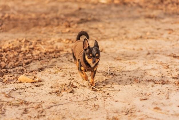Пушистый чихуахуа бегает. собака на прогулке осенью или зимой. чихуахуа в одежде