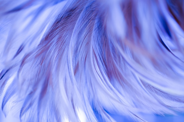 Fluffy of colorful chickens feather texture