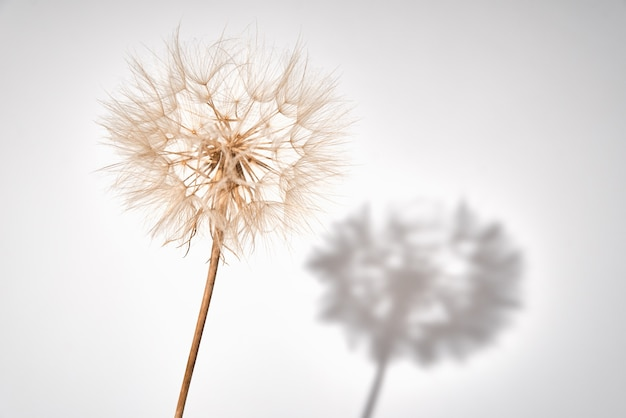 Fluffy dandelion flower with buds on white background