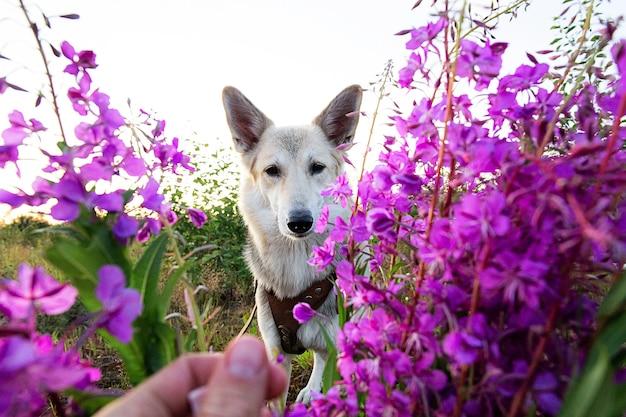 녹색 들판에서 쉬고 있는 동안 생생한 신선한 꽃 근처에 서서 카메라를 보고 있는 푹신한 개