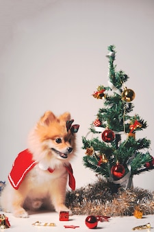 Fluffy dog pomeranian with red shawl near the christmas tree, new year decorations