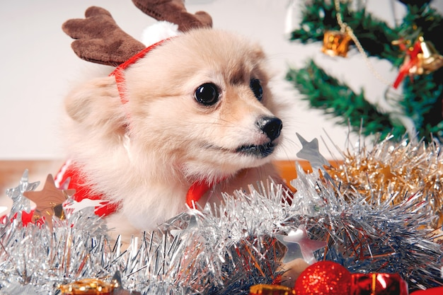 Fluffy dog pomeranian with a rim of a deer horn cap near the christmas tree and box of gift