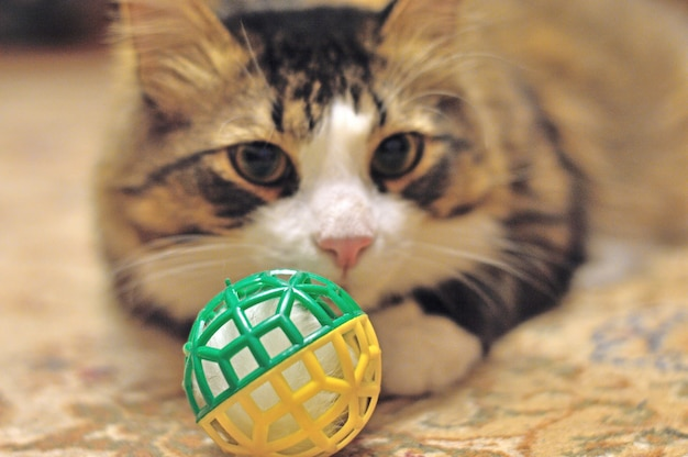 Fluffy domestic cat with a toy