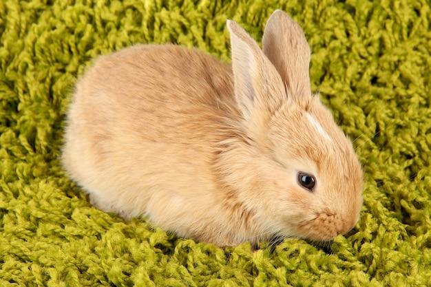 Fluffy foxy rabbit on carpet close-up