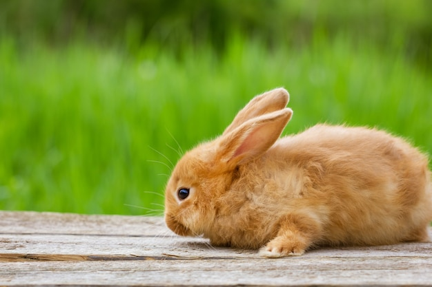 Fluffy funny ginger rabbit on a background of green nature,