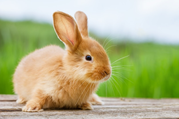 Fluffy funny ginger rabbit on green nature