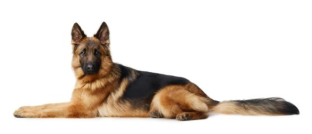 Fluffy german shepherd dog sitting