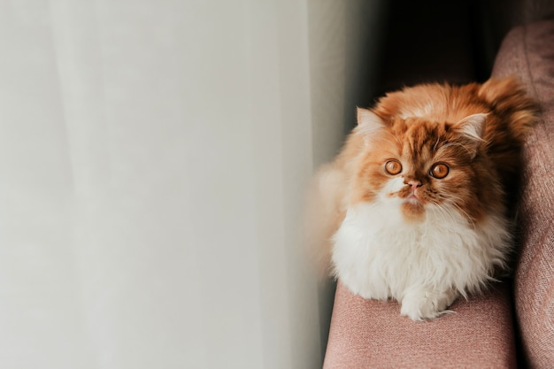 Fluffy ginger cat on the back of the sofa by the window. red scottish kitten.