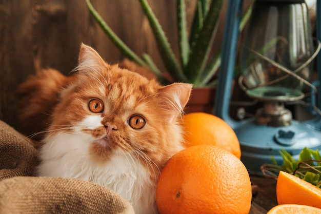Fluffy ginger cat sits between ripe oranges on an old wooden table