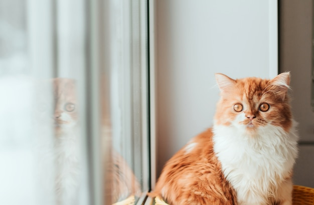 Fluffy ginger kitten is sitting on the windowsill. a red kitten is reflected in the window pane.