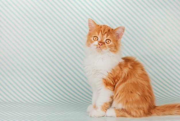 Fluffy ginger kitten sits on a blue striped background