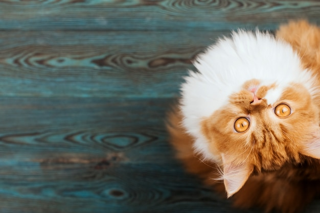 Fluffy ginger kitten sits on a blue wooden floor copy space. curious red kitten