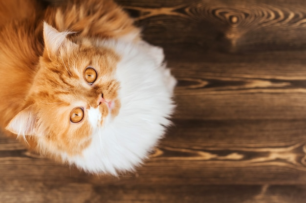 Fluffy ginger kitten sits on a brown wooden floor copy space. curious red kitten