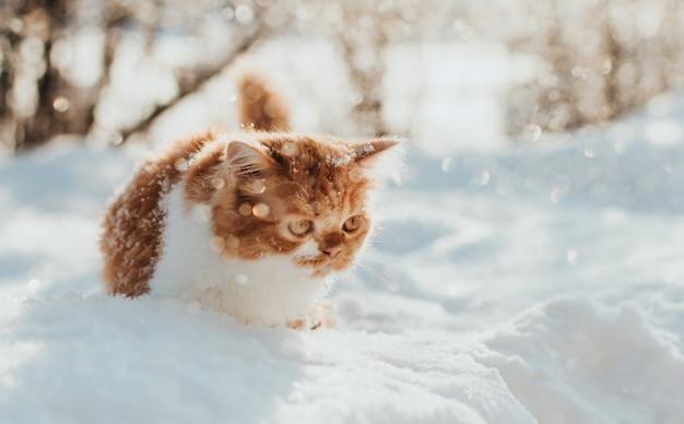 Fluffy ginger kitten walks in the snow on a winter morning.