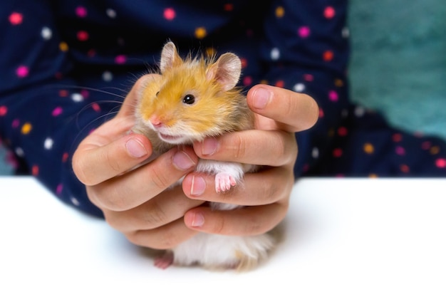A fluffy golden syrian hamster in the hands of a child.