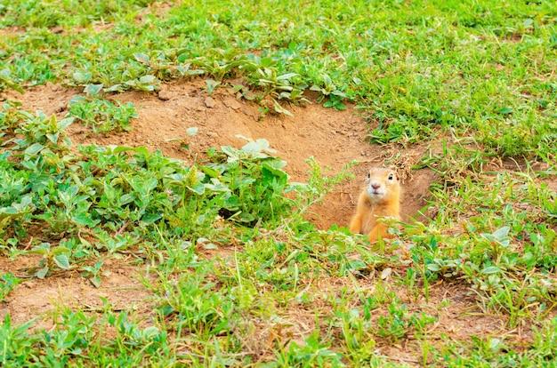 Пушистый суслик выглядывает из ямы в земле на зеленом поле с травой.