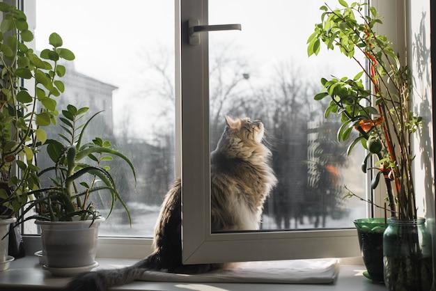 창턱에 앉아 열린 창 밖에서 실내를 바라 보는 솜털 회색 고양이. 시베리아 품종의 고양이