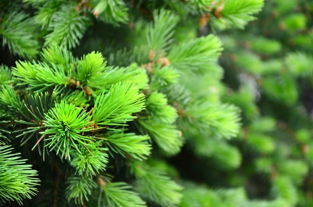 Fluffy green fir tree brunch close up. christmas wallpaper concept with copy space