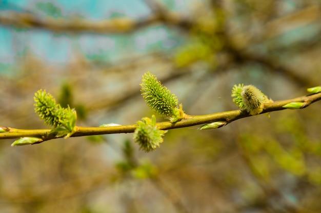ぼやけた春の抽象的な自然な背景にふわふわの緑の猫柳のつぼみ開花枝をクローズ アップ