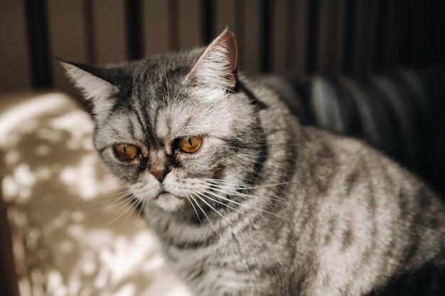 Пушистый серый домашний кот сидит на диване