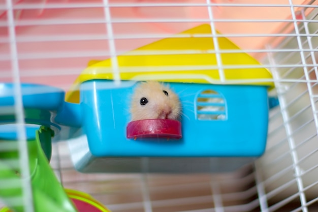 Fluffy hamster peeks out into the window of a small house in a cage
