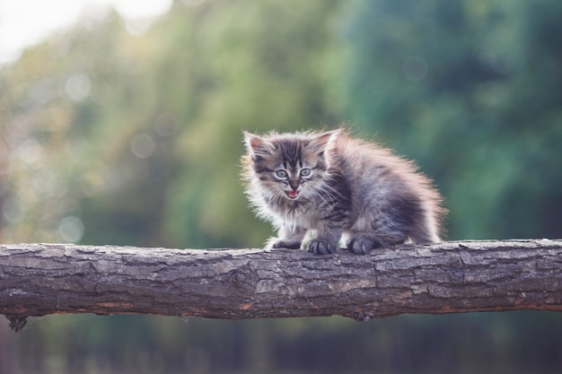 Fluffy kitten in the forest goes on a tree trunk
