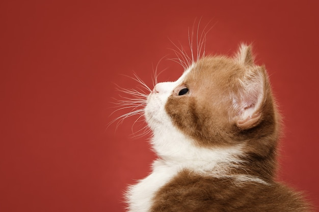 Пушистый котенок боком на красном фоне.