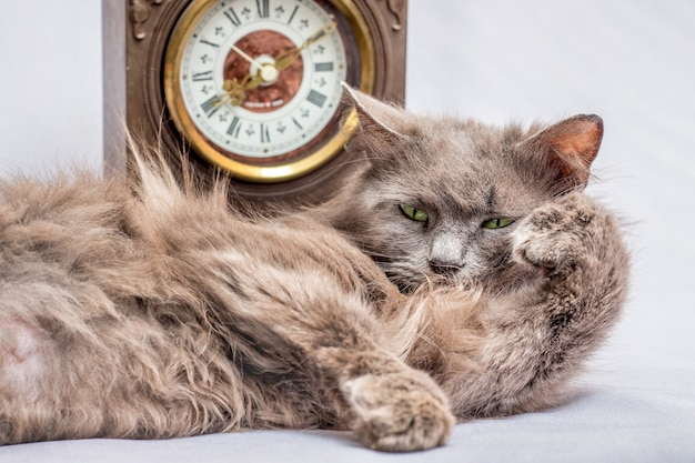 A fluffy lazy cat lies near the clock. it's time to get up and go to work
