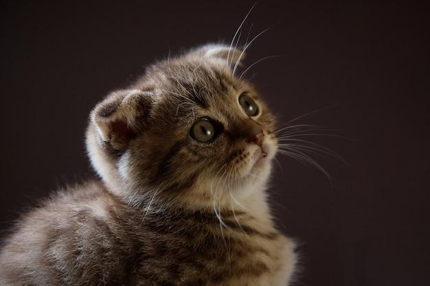 어두운 배경을 흐리게 찾고 테이블 어두운 배경에 무성한 작은 새끼 고양이