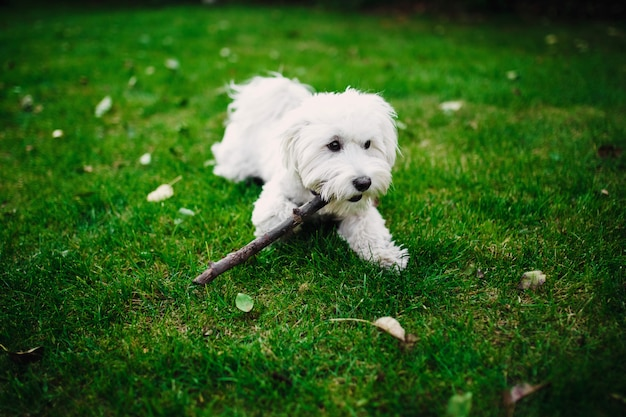 Fluffy maltese mix on the grass. white dog playing in garden with green grass