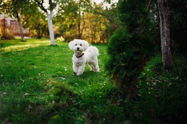 Fluffy maltese mix on the grass.