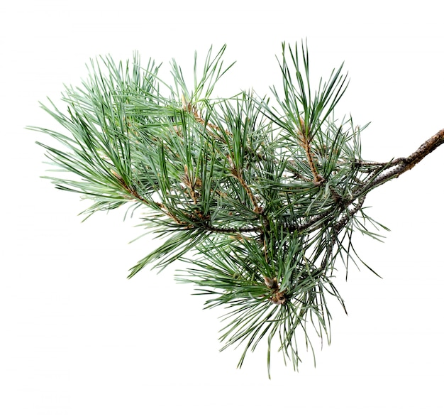 Fluffy pine tree branch isolated on white .