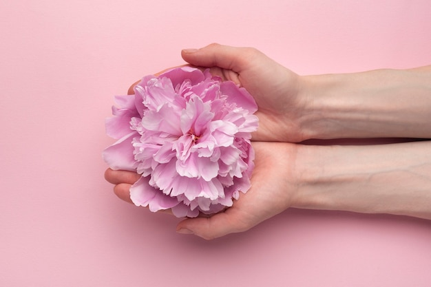 Fluffy pink flower of peony in female hands on pink background. top view. hand care.