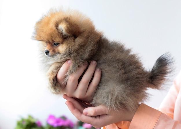手の白い背景にふわふわポメラニアン子犬色クロテンの側面図。