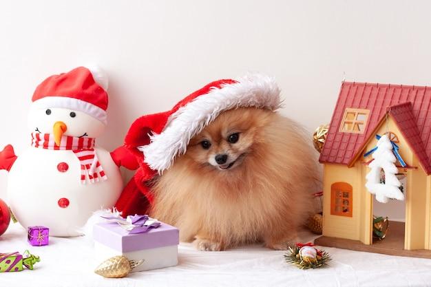 ふわふわのポメラニアンはサンタクロースの帽子に座って、クリスマスのおもちゃの周りでカメラを見ます