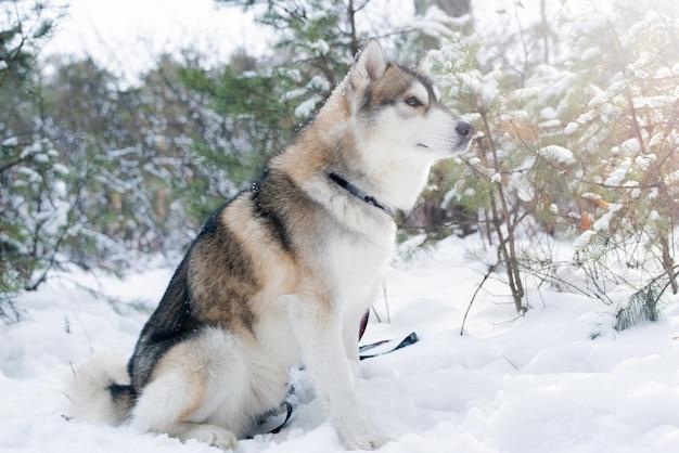 冬の日に森や公園の木々を背景に雪の上に座っているふわふわ純血種のシベリアンハスキー犬