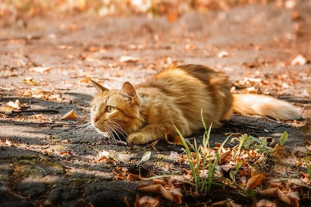 Пушистый рыжий кот лежит среди желтых опавших листьев и пристально смотрит вдаль