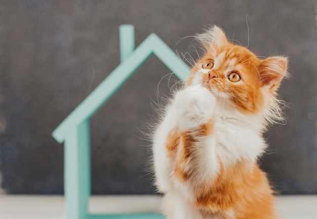 Fluffy red kitten on a background of blue house