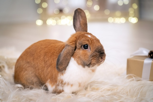 Fluffy red lopeared rabbit sits on a soft rug