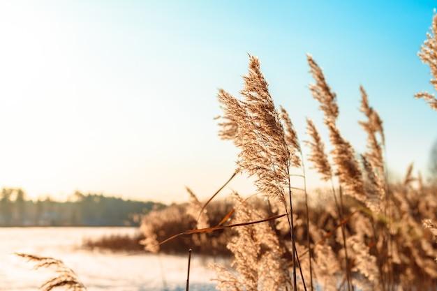 晴れた冬の日に風に揺れるふわふわの葦。