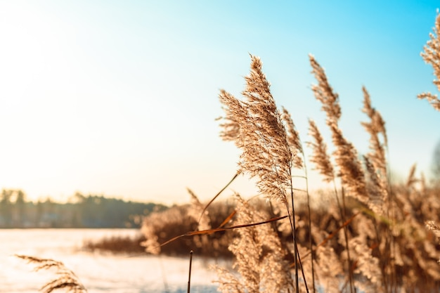Fluffy reeds swaying in the wind on a sunny winter day.