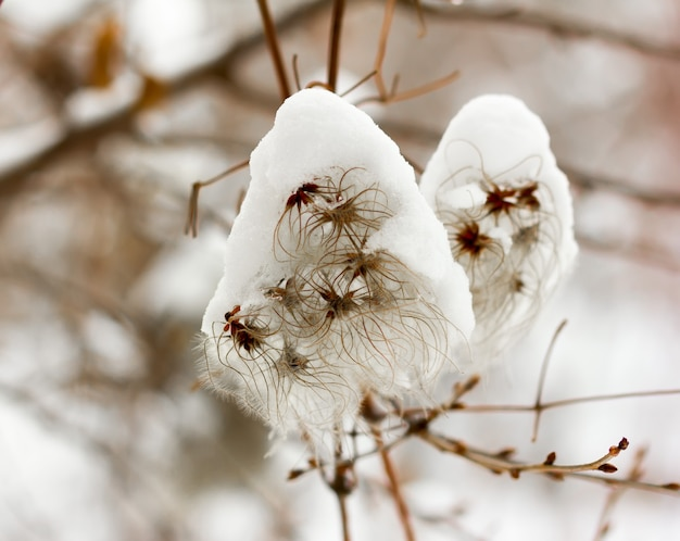 Fluffy seeds of climbing plant clematissprinkled with white snow