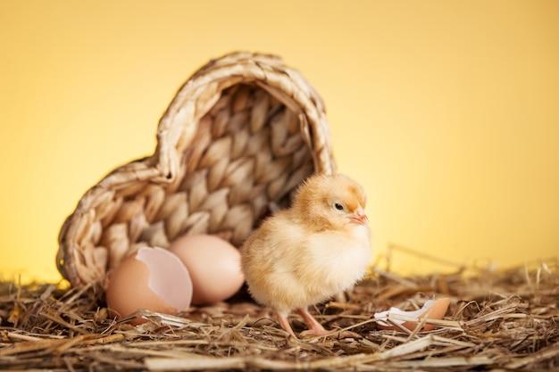 둥지에 푹신한 작은 닭