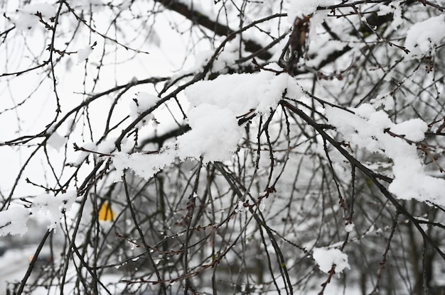 Fluffy snow lies on bare branches.