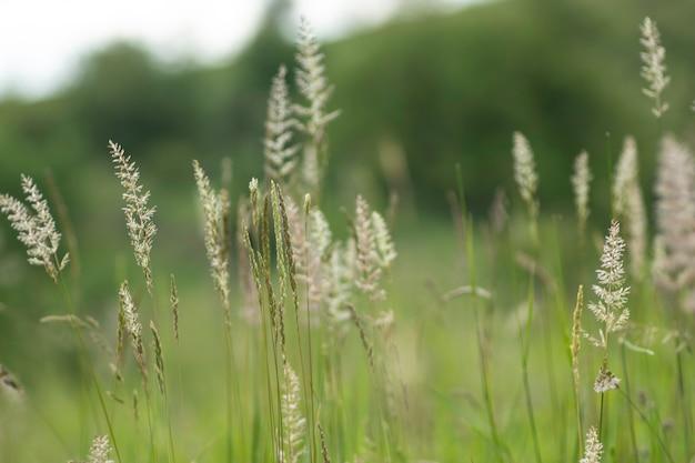 Пушистые колоски крупным планом на фоне зеленого поля