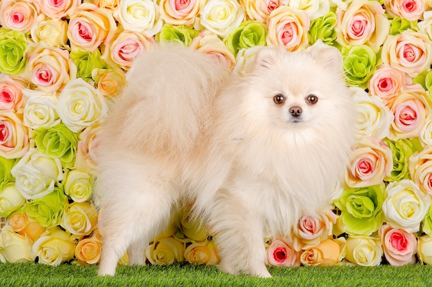 Fluffy spitz and roses